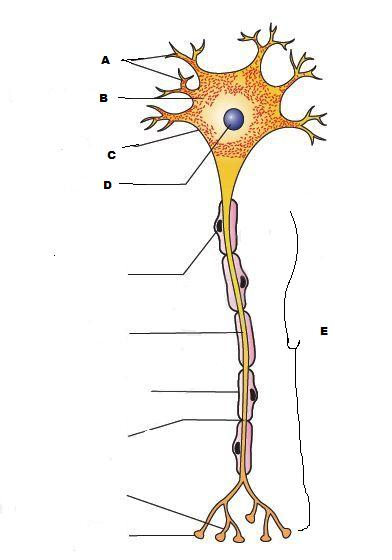 A neuron is a microscopic structure composed of three ...