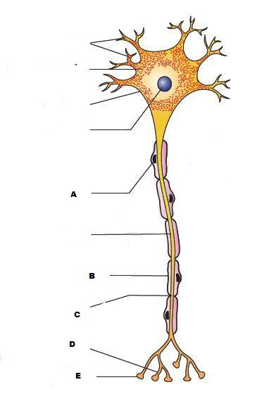 blank axon diagram manual e books Neuron Diagram Labeled blank axon diagram simple wiring diagram siteblank axon diagram wiring library blank knee diagram blank axon